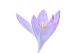 A Crocus Flower Photographic Print by Robert Llewellyn