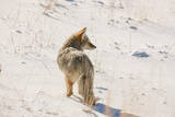 A Coyote Stands in a Snowy, Sunlit, Landscape Photographic Print by Tom Murphy