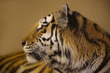 An Endangered Amur Tiger, Panthera Tigris Altaica Fotografisk tryk af Joel Sartore