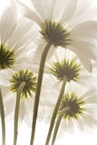 Daisy Flowers Photographic Print by Robert Llewellyn