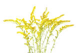 Goldenrod Flowers Photographic Print by Robert Llewellyn