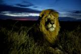 A Dark-Maned Male Lion known as C-Boy Photographic Print by Michael Nichols