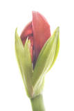 An Unopened Amaryllis Flower Photographic Print by Robert Llewellyn