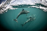 Bottlenose Dolphins Play in the Sea of Cortez Photographic Print by Keith Ladzinski