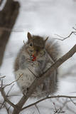 Portrait of an Eastern Gray Squirrel, Sciurus Carolinensis, Eating Berries in the Snow Photographic Print by John Cancalosi