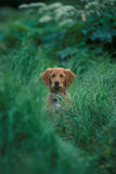 A Golden Retriever Looks Up Through Tall Grass Photographic Print by Keith Ladzinski