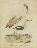 Embellished Spoonbill & Sandpipers Posters by Alexander Wilson