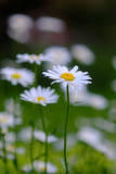 Daisies Growing in a Garden Photographic Print by Paul Damien