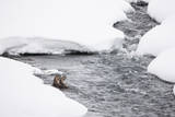 A Pair of River Otters Rest in a River in Winter Photographic Print by Tom Murphy