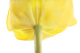 A Tulip Flower Photographic Print by Robert Llewellyn