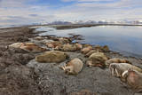 A Herd of Bulls Snooze in the Svalbard Archipelago Photographic Print by Paul Nicklen