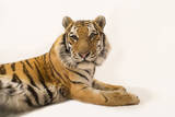 An Endangered Siberian Tiger, Panthera Tigris Altaica Photographic Print by Joel Sartore