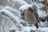 Portrait of a Bohemian Waxwing Perching on a Snow-Covered Pine Tree Branch Photographic Print by Peter Mather