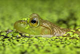 Close Up of a Bullfrog, Rana Catesbeiana, in Duckweed Covered Water Photographic Print by John Cancalosi