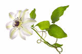 A Clematis Flower Photographic Print by Robert Llewellyn