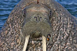 An Atlantic Walrus with Skin Stippled White and Clam Shells Clinging to its Whiskers Photographic Print by Paul Nicklen