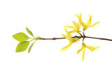 Forsythia Flowers Photographic Print by Robert Llewellyn