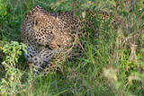 Portrait of a Leopard Emerging from Dense Shrubbery Photographic Print by Tom Murphy