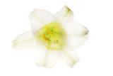 A Lily Flower Photographic Print by Robert Llewellyn