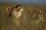 A Lioness of the Vumbi Pride Lying in the Tall Grass and Scenting the Air Photographic Print by Michael Nichols