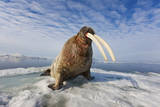 A Male Atlantic Walrus Stands Atop Sea Ice in Svalbard Photographic Print by Paul Nicklen