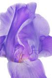 An Iris Flower Photographic Print by Robert Llewellyn