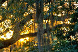 Spanish Moss Hanging from the Branches of a Tree at Sunset Photographic Print by Brian Gordon Green