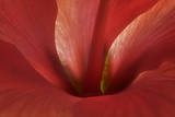 An Amaryllis Flower Photographic Print by Robert Llewellyn