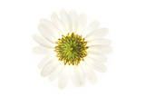 A Daisy Flower Photographic Print by Robert Llewellyn