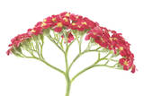Yarrow Flowers Photographic Print by Robert Llewellyn