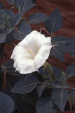 A Datura Flower, a Common Weed in Dry Areas Photographic Print by David Hiser