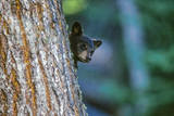 A Black Bear Cub Waits and Watches its Mother Who Is High Above Eating White Bark Pine Nuts Photographic Print by Tom Murphy
