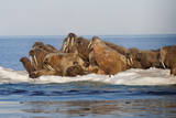 A Mixed Herd of Atlantic Walruses Lies Hauled Out on an Ice Floe in Foxe Basin Photographic Print by Paul Nicklen