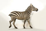 A Grant's Zebra at the Cheyenne Mountain Zoo in Colorado Springs, Colorado Photographic Print by Joel Sartore