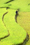 A Woman Works in Terraced Fields During the Rice Harvest Season in Northwestern Vietnam Photographic Print
