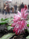 The Street Flower Blossoms on the Ground in Downtown Kiev, Ukraine Photographic Print by Sergey Dolzhenko