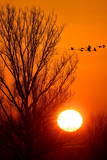 Swans Fly Backdropped by the Rising Sun Near Reitwein Photographic Print by Patrick Peul