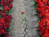 Tulips Suffer from the Continuing Dry Weather Photographic Print by Dennis Beek