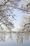 Cherry Blossoms are Seen Next to the Tidal Basin in Washington Photographic Print by Stefan Zaklin