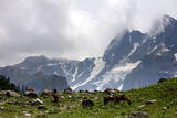 A General View Shows Kashmir Horses Grazing with Snow Covered Peaks from Sonamarg in the Background Photographic Print by Farooq Khan