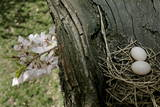 A Dove's Nest Is Seen in a Cherry Tree in Washington Photographic Print by Stefan Zaklin
