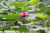 A Lotus Flower Is in Bloom at a Park in Beijing Photographic Print by Michael Reynolds