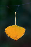 A Yellow Poplar Leaf Is Caught in a Spider Web Photographic Print by Patrick Peul