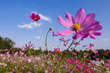 A Dwarf Cosmos Is Seen at Showa Memorial Park in Tachikawa Photographic Print by Dai Kurokawa