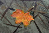A Colourful Maple Leaf Floats in a Lake in Parstein Photographic Print by Patrick Peul