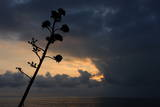 A Cactus Bloom Is Silhouetted Against the Setting Sun Along the Bluffs in Santa Monica Photographic Print by Mike Nelson