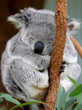 An Australian Koala Sleeps Photographic Print by Barbara Walton