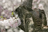 A Dove Sits on its Nest in a Cherry Tree in Washington, DC, USA Photographic Print by Stefan Zaklin
