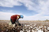 A Farmer Harvests Cotton in Rural Minqin, Gansu Province, China Photographic Print by Michael Reynolds