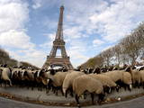 Sheep at the Eiffel Tower Photographic Print by Ian Langsdon